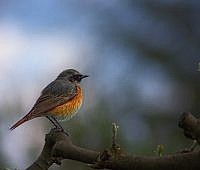 common-redstart-182136_640